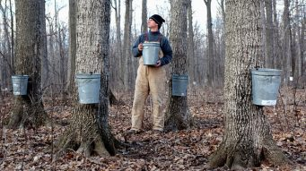 Where does maple syrup come from? Tree sap, of course!